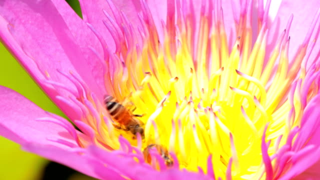 close up honey bees collecting nectar and pollen on lotus flower - {{asset.href}} video stock e b–roll