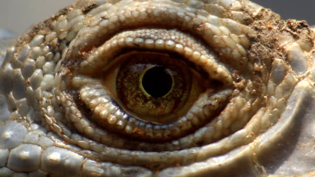 close up iguana eye - dinosaur stock videos and b-roll footage