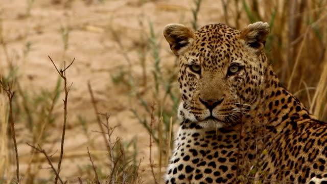 närbild av leopard titta runt - leopard bildbanksvideor och videomaterial från bakom kulisserna