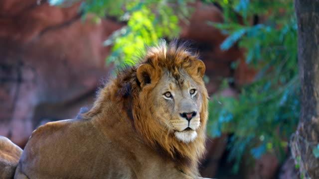 close up lion's portrait video