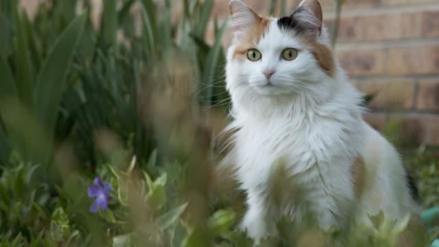 vídeos de stock, filmes e b-roll de close up, low angle slow motion shot de um belo gato de estimação de calico felino multicolorido sentado e ouvindo em um jardim verde exuberante no colorado - felino