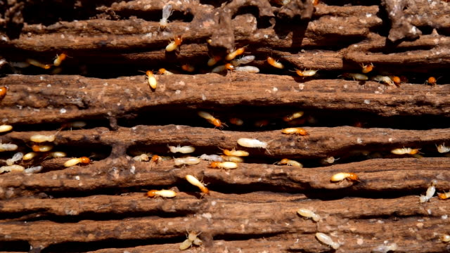 Close up macro white ants or termites on decomposing wood video