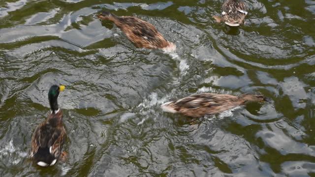 Close up mallard ducks swim fast in rippled water video