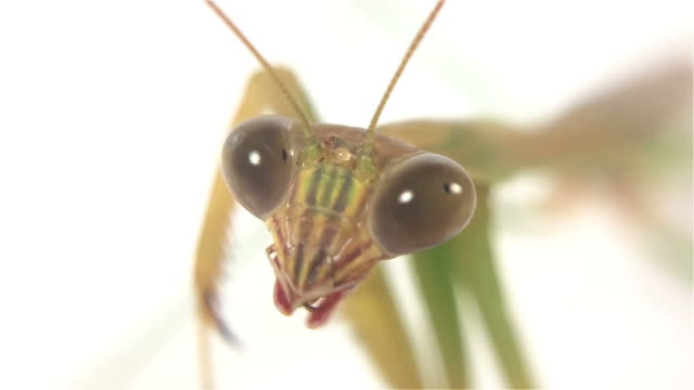 Close up mantis open mouth and disappear like alien on white background.Macro shot video