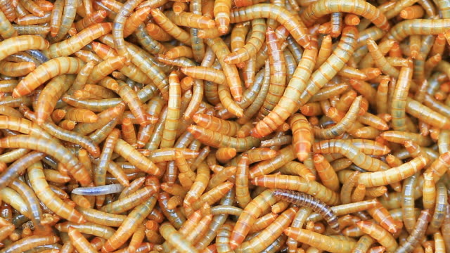 Close up  Meal worms video