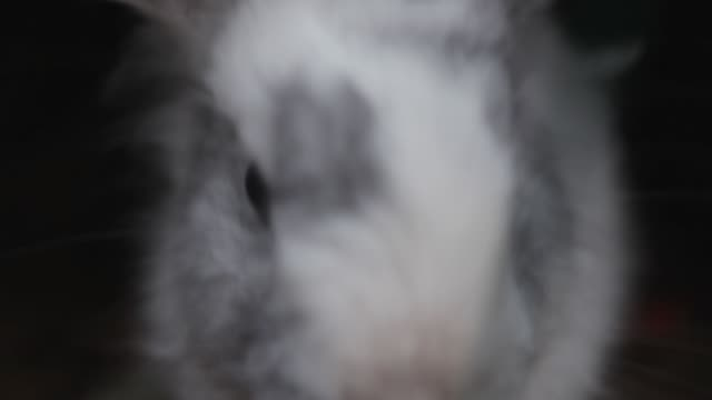 Close up muzzle of a gray - white decorative rabbit.Lovely, funny animal. Close up muzzle of a gray - white decorative rabbit.Lovely, funny animal. Fluffy rabbit closeup tail stock videos & royalty-free footage
