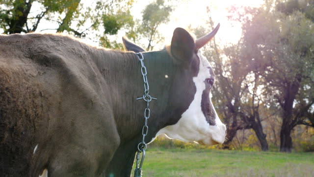 close up muzzle of cow standing at lawn and looking calmly to something. cute friendly animal grazing in meadow at sunny day. cattle on pasture. blurred background. farming concept. side view - giovenca video stock e b–roll