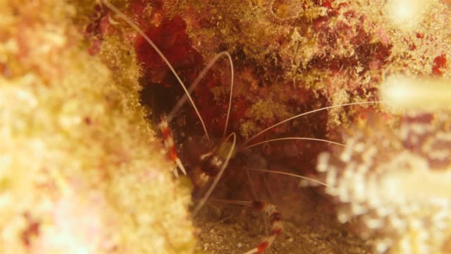 Close up of a banded cleaner shrimp as a part of the coral reef in the Caribbean Sea around Curacao Super Macro of the reef around Curaçao /Netherlands Antilles cleaner shrimp stock videos & royalty-free footage
