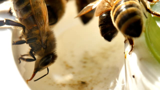 close up of a bee sucking up water. - tap water filmów i materiałów b-roll