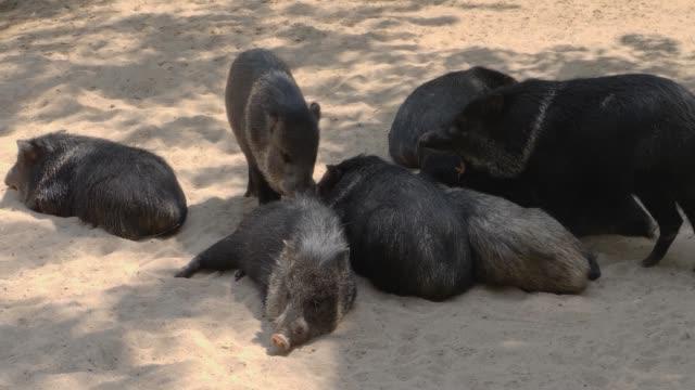 黒いペッカリー豚のクローズアップ - 子豚点の映像素材/bロール