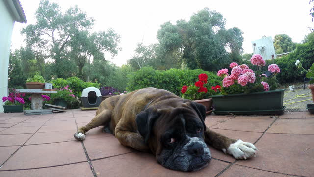 Close up of a boxer dog resting on a terrace