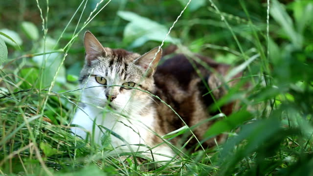 Close up of a cat Close up of a black and white cat lying in the grass shorthair cat stock videos & royalty-free footage