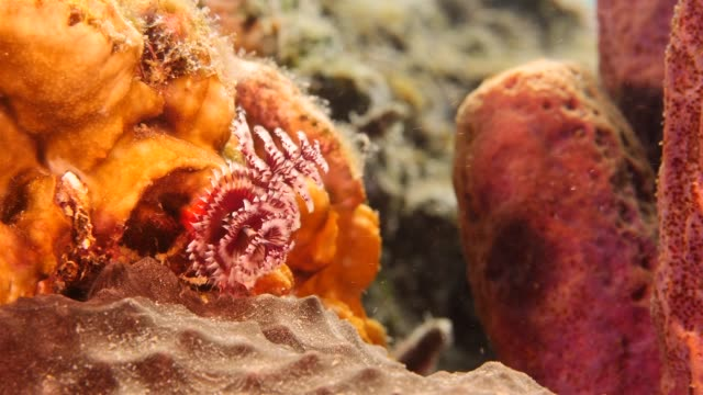 Close up of a christmas tree worm as a part of the coral reef in the Caribbean Sea around Curacao Super Macro of the reef around Curaçao /Netherlands Antilles cleaner shrimp stock videos & royalty-free footage