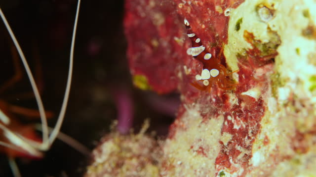 Close up of a cleaner shrimp as a part of the coral reef in the Caribbean Sea around Curacao Super Macro of the reef around Curaçao /Netherlands Antilles cleaner shrimp stock videos & royalty-free footage