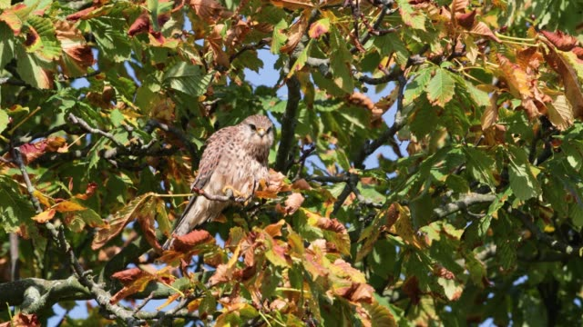Close up of a common kestrel perched in a tree