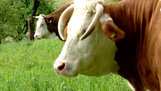HD: Close Up Of A Cow video