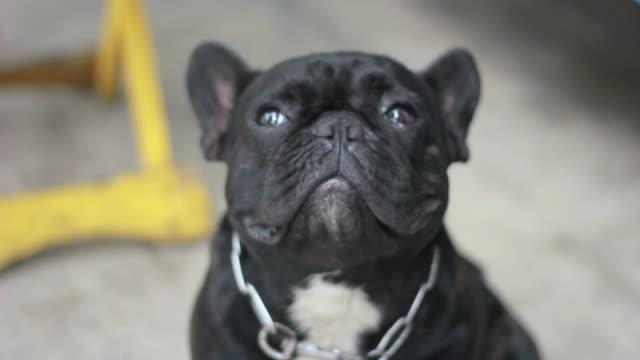 Close up of a dog Close up of a English bulldog looking at the camera  panting stock videos & royalty-free footage