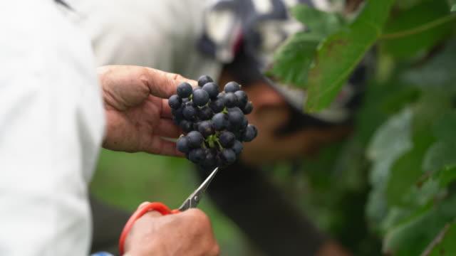 検査欠陥、腐敗またはバグの新鮮な収穫のブドウ農家のクローズ アップ ビデオ
