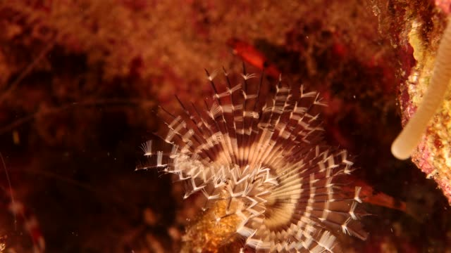 Close up of a feather duster as a part of the coral reef in the Caribbean Sea around Curacao Super Macro of the reef around Curaçao /Netherlands Antilles cleaner shrimp stock videos & royalty-free footage