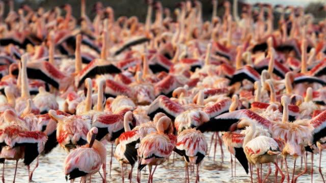 close up of a flamingo flock at lake bogoria in kenya