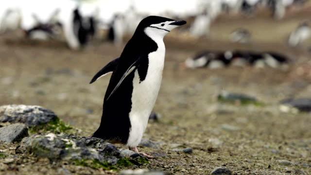 close up of a gentoo penguin chick - ekoturystyka filmów i materiałów b-roll