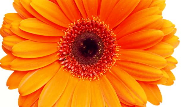 close up of a gerbera flower. - нивяник стоковые видео и кадры b-roll