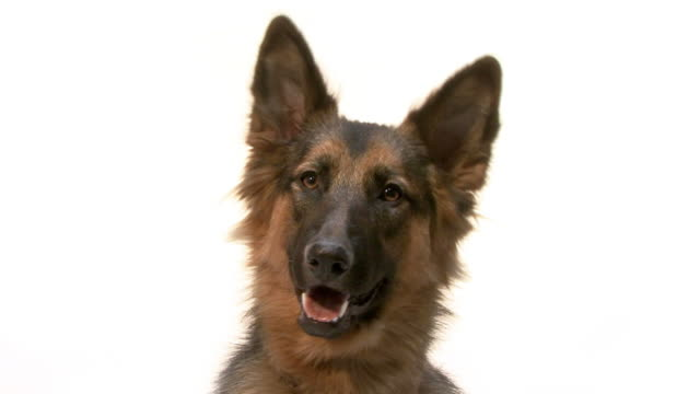 close up of a German Shepherd video