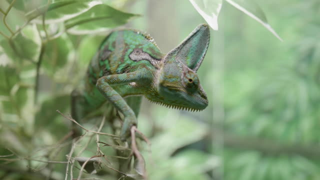 close up of a green veiled chameleon lizard close up of a green veiled chameleon lizard shot in FullHD camouflage clothing stock videos & royalty-free footage