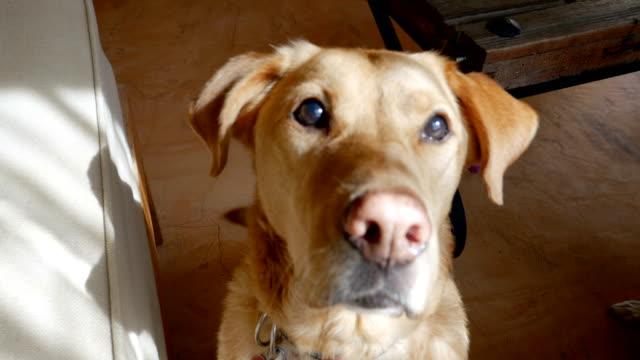 oturan ve kameraya bakan mutlu bir köpek yakın - burun vücut parçaları stok videoları ve detay görüntü çekimi