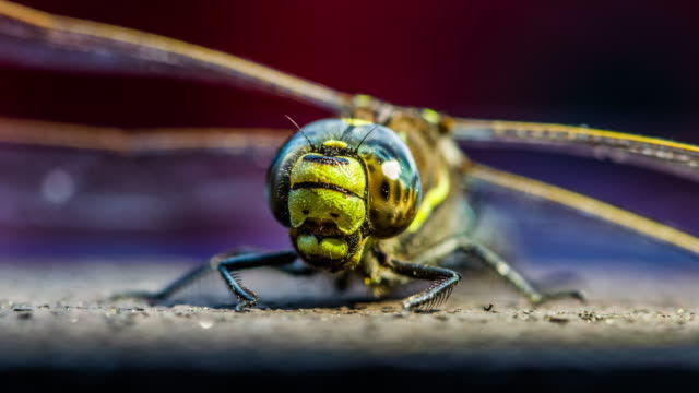 Close up of a hawker dragonfly video