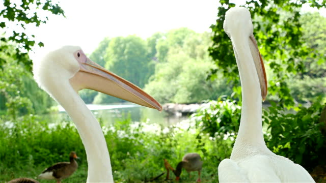 Close up of a head of a pelican in St. James's park of London video
