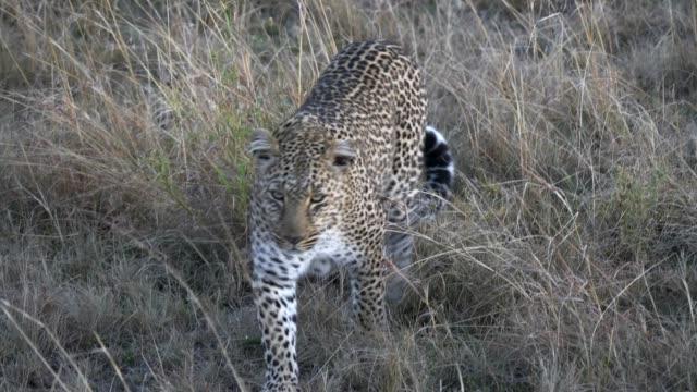 närbild av en leopard som närmar sig direkt på masai mara i kenya - leopard bildbanksvideor och videomaterial från bakom kulisserna
