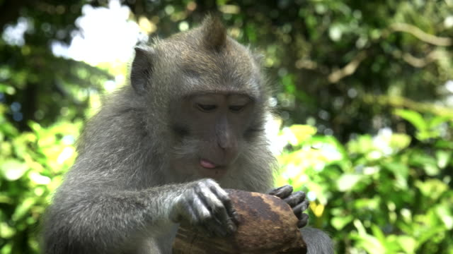 close up of a macaque eating coconut at ubud, bali
