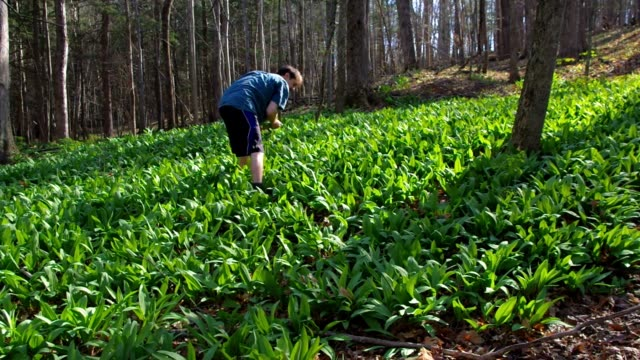 Close up of a man foraging ramps / wild leeks in the forest. video