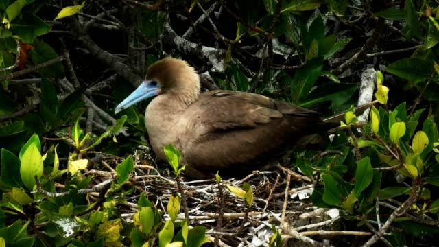 vídeos de stock, filmes e b-roll de close-up de um aninhamento peito patas vermelho vermelho na ilha genovesa nas galápagos - ilha genovesa