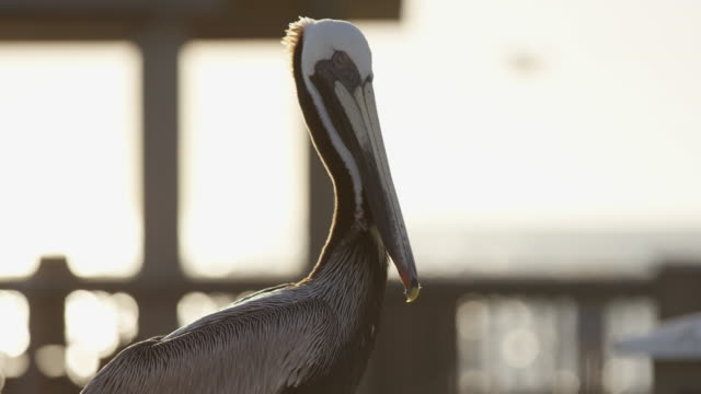 Close up of a pelican Close up view of a pelican. pelican stock videos & royalty-free footage