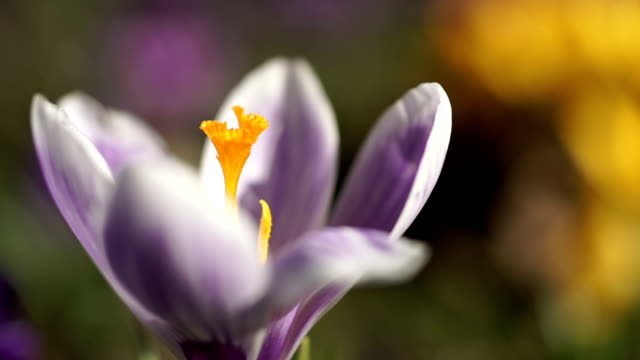 Close up of a purple crocus flower. video