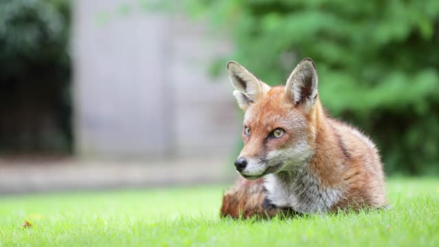 Close up of a red fox laying on grass