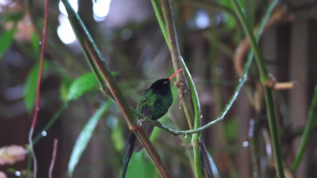 A close up of a red-billed streamertail hummingbird or doctor bird sitting on a vine sticking out its tongue and ruffling its feathers in Ocho Rios on the tropical island of Jamaica in the Caribbean.