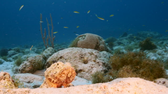 Close up of a Scorpionfish as a part of the coral reef in the Caribbean Sea / Curacao video