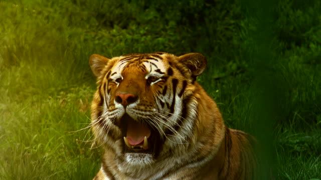 vídeos y material grabado en eventos de stock de primer plano de un tigre siberiano - tigre