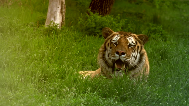 close up of a siberian tiger video
