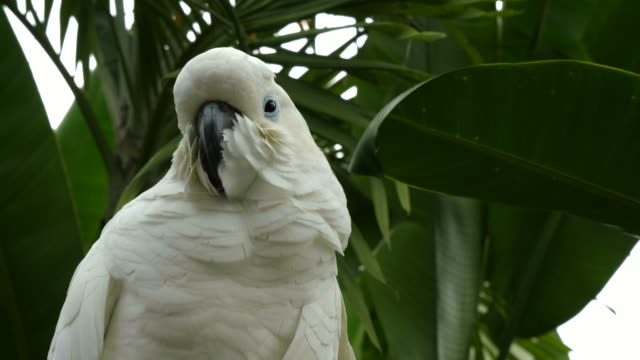 close up of a sulfur crested cockatoo