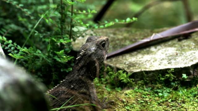 nahaufnahme einer tuatara eidechse - endemisch stock-videos und b-roll-filmmaterial
