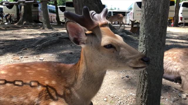 Close Up Of A Wild Deer Video