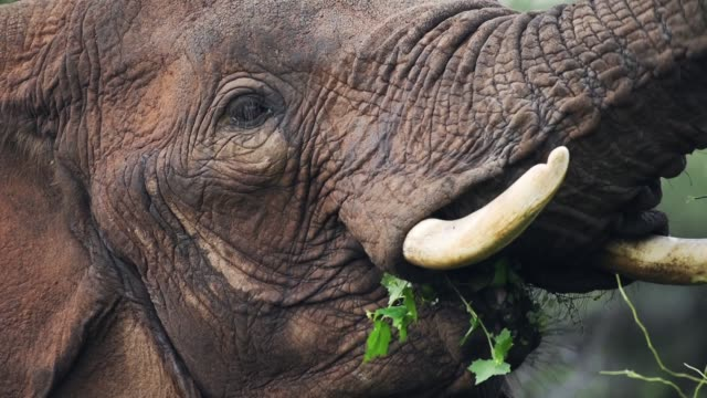 Close up of a wild elephant eating from a tree in the Kenyan bush, Africa Close up of a wild elephant eating from a tree in the Kenyan bush, Africa feeding stock videos & royalty-free footage