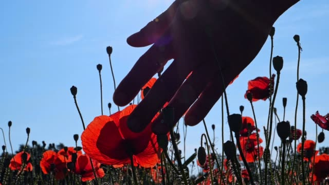 Close up of a woman's hand passing through the blossoming poppy flowers in a vast agricultural field, beautiful bright sunlight, slow motion, wanderlust, hands in work, helping hands, backlit