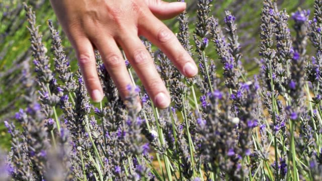 close up of a women hand caressing lavender flowers in slow motion.