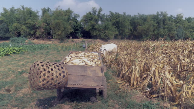 vídeos de stock e filmes b-roll de close up of a wooden cart overloaded with harvested corn and white cows grazing on the edge of the cornfield - animal doméstico