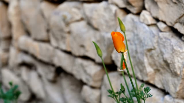 Close up of a yellow flower growing alone next to a stone wall.